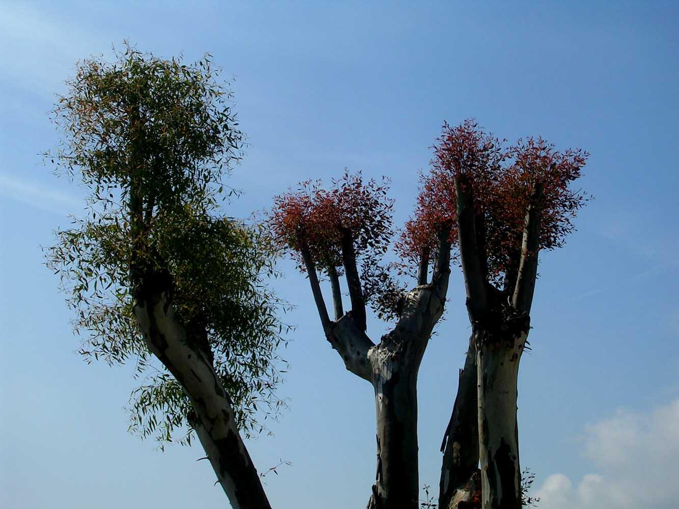 Gli eucalipti